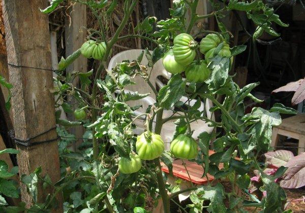 וירוס בעגבנייה למתחילים